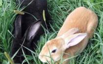莲山黑兔的简介-莲山黑兔是什么?