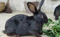 莲山黑兔的日常怎么打理?
