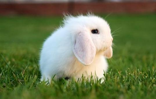 迷你垂耳兔可以長到多大?