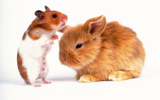 狮子头兔的简介-狮子头兔是怎样的? 狮子头兔的简介 狮子头兔扁鼻,前脚长,耳朵比较宽,象三角型。此外,颈部、脸颊、头顶的毛发较长,象雄狮的鬃毛一样,有纯白色、野鼠色、棕色、白底黑斑等色调,因此叫狮子头兔。 和安哥拉兔很接近,狮子头兔扁鼻,前脚长,耳朵比较宽,象三角型。此外,颈部、脸颊、头顶的毛发较长,象雄狮的鬃毛一样,有纯白色、野鼠色、棕色、白底黑斑等色调。 中文名:狮子头兔。 原产地荷兰、美国。 体形尺寸体重:1.