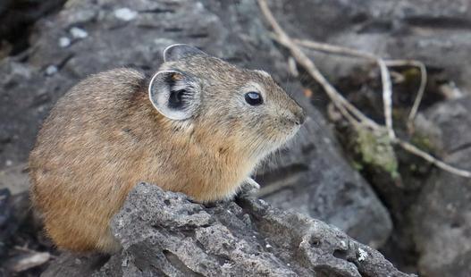 鼠兔的外形特征