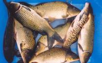 年年有鱼 过年吃什么鱼好?