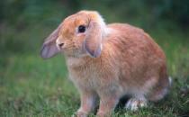 迷你垂耳兔怎么养?迷你垂耳兔吃什么?