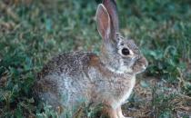 沙漠棉兔怎么养?沙漠棉兔吃什么?