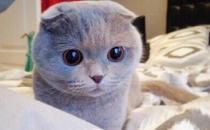 苏格兰折耳猫的产地-苏格兰折耳猫的价格