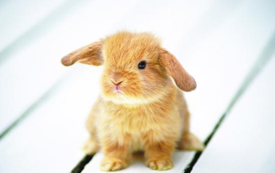 太行山兔的简介-太行山兔是什么?