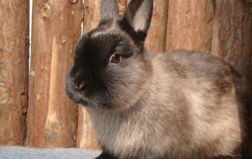 暹罗兔的价格-成年暹罗兔多少钱?