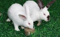 伊拉兔的简介 伊拉兔是什么?