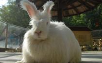 英国安哥拉兔的价格是多少?
