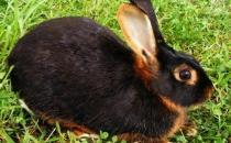英种小型兔的产地是哪里?