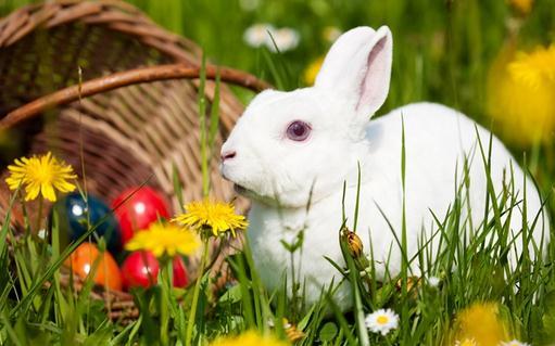 们欢迎的宠物兔品种