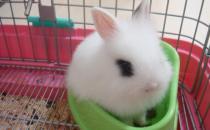 侏儒海棠兔是什么品种的兔兔?