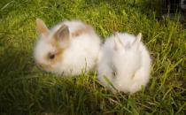 侏儒海棠兔对生存环境有什么要求?