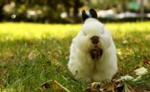 侏儒兔的简介 侏儒兔的怎样的?
