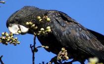 暗色鹦鹉的价格 暗色鹦鹉的简介
