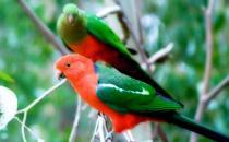澳洲国王鹦鹉的产地 澳洲国王鹦鹉的简介