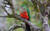 澳洲国王鹦鹉的饲养方法 澳洲国王鹦鹉的价格
