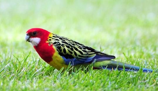 东玫瑰鹦鹉的简介 东玫瑰鹦鹉的产地-第1张图片