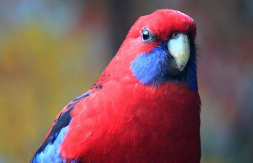 东玫瑰鹦鹉的饲养方法 东玫瑰鹦鹉的繁殖方法-第1张图片