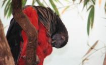 彼斯奎氏鹦鹉的简介 彼斯奎氏鹦鹉的产地