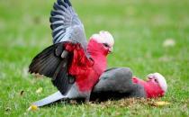 粉红胸凤头鹦鹉的简介 粉红胸凤头鹦鹉的产地