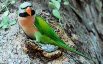 大绯胸鹦鹉的产地 大绯胸鹦鹉的简介