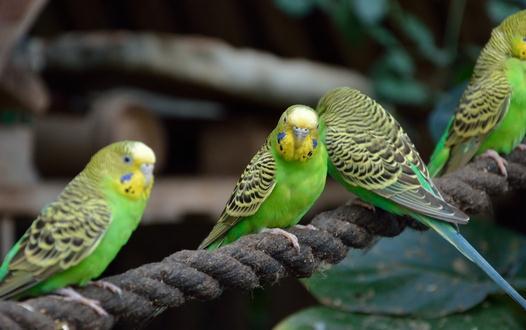 虎皮鹦鹉怎么分公母 虎皮鹦鹉会长大吗图片