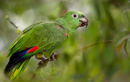 黃冠亞馬遜鸚鵡的簡介 黃冠亞馬遜鸚鵡的產地