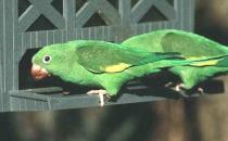 黑帽锥尾鹦鹉的体型 黑帽锥尾鹦鹉的饲养方法