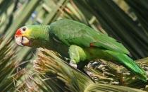 红额金刚鹦鹉的产地 红额金刚鹦鹉的简介