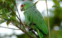 红额亚马逊鹦鹉的简介 红额亚马逊鹦鹉的产地