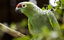 红额鹦鹉的饲养方法 红额鹦鹉的价格