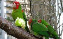 红面具锥尾鹦鹉简介 红面具锥尾鹦鹉的生存环境