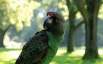 贾丁氏鹦鹉的饲养方法 贾丁氏鹦鹉的繁殖方法