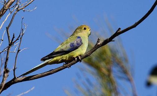 蓝翅金刚鹦鹉的简介 蓝翅金刚鹦鹉的产地 蓝翅金刚鹦鹉的简介 蓝翅金刚鹦鹉(学名:Propyrrhuramaracana)是分布在南美洲东部及中部的金刚鹦鹉。寿命可以长达50-60岁。是面部黄色的金刚鹦鹉,但饲养下的则会变成白色。分布与巴西东部及南部、巴拉圭东部及阿根廷东北部。栖息在常绿林及落叶林。主要吃种子、果实及坚果。蓝翅金刚鹦鹉受到伐林的影响,也曾被捕猎作为宠物,数量下降,列为近危物种。 蓝翅金刚鹦鹉体长43厘米,体重265克。鸟体大部份为绿色,前额有红色小片的羽毛,下腹部两侧有类似V字型的橘红色羽