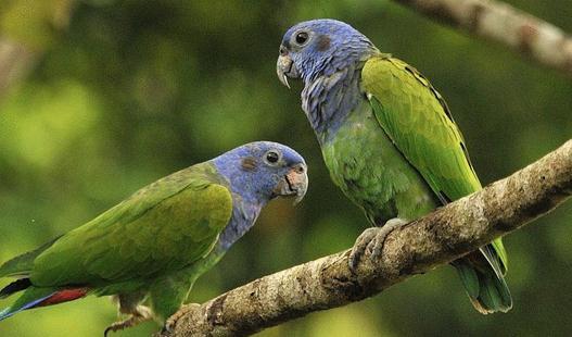 蓝头金刚鹦鹉的饲养方法 蓝头金刚鹦鹉的价格 蓝头金刚鹦鹉的饲养方法 如果你喜欢安静且不占空间又容易饲养的宠物那么绝对属蓝头金刚鹦鹉了。他们的寿命比狗猫还要长,平均寿命在25年左右。寿命的长短与饲养环境以及饮食都有密切的关系。 蓝头鹦鹉属不算太吵杂的鸟,啃咬的破坏性也较小,生性较沉稳、安静,个性害羞,容易紧张,温驯、高贵没有攻击性,不喜欢拥抱但热爱主人的抚摸。蓝头鹦鹉是很漂亮很有魅力且很理想的宠物鹦鹉,一直深受人们的喜爱,母鸟的个性更是甜美亲人。 除繁殖期外通常群居,在栖息的树上或食物充足的地方常聚集大批