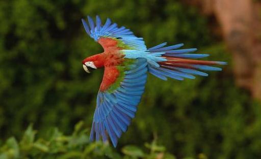 绿翅金刚鹦鹉怎么繁殖?绿翅金刚鹦鹉的饲养方法 绿翅金刚鹦鹉怎么繁殖? 在野外繁殖产卵季节因地而异:在苏里南是12月;在秘鲁是11月;在巴西中部是1月至4月。喜欢筑巢于棕榈树上的树洞里,但也可能置于悬崖的岩石洞隙或裂缝中,每巢通常产卵2或3枚,孵化期约28天,但幼鸟羽毛完全成长则长达约90天。雏鸟的成活率不是很高。《世界鸟类手册》(HBW)记录:对16鸟巢进行跟踪研究,结果10只雏鸟能正常飞行(40%),其中9因营养不良死亡(36%),6只成为掠食动物的受害者(24%)。 人工饲养的红绿金刚鹦鹉约4岁步入