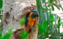 蓝喉金刚鹦鹉是什么?蓝喉金刚鹦鹉的产地