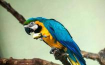 蓝黄金刚鹦鹉的简介 蓝黄金刚鹦鹉的生活环境