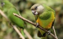 塞内加尔鹦鹉的简介 塞内加尔鹦鹉的外形特征