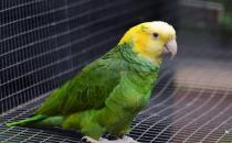 双黄头亚马逊鹦鹉价格 双黄头亚马逊鹦鹉饲养方法