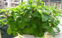 夏季能够防蚊虫的植物