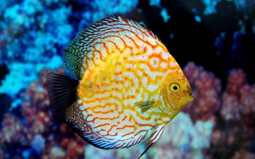 七彩神仙鱼的繁殖窍门