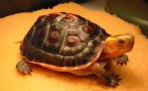宠物乌龟常见疾病的治疗方法