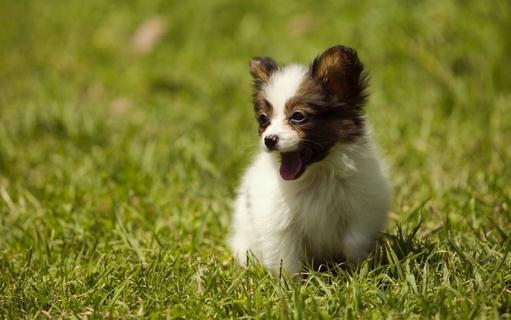 盘点狗狗饲料的种类 盘点狗狗饲料的种类 犬的饲料大体可分为动物性饲料和植物性饮料两种,两者以混合喂养为宜。动物性饲料适口、易消化,蛋白质、维生素含量较高;植物性饲料富含糖类和维生素,但纤维质较多,切忌偏吃偏喂。常见的犬饲料有鱼、肉、蛋、奶、菜、谷及罐头食品等。 动物肉动物肉是最可口的犬饲料,加入适量的钙、磷、磺、维生素A、维生素D、骨粉及血粉或禽类内脏便是无可挑剔的优质犬饲料。 鱼的营养价值高,是理想的犬食物,深得犬类偏爱。但鱼体内多有寄生虫,应该煎煮之后再喂。 蛋蛋壳是很好的钙来源,饲养者要把蛋壳