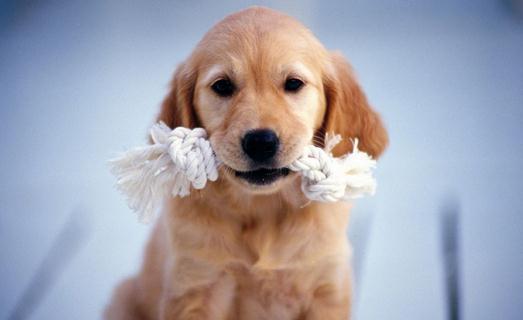 狗狗的饲料有哪些种类 狗狗的饲料有哪些种类 商品犬饲料,又称宠物食品,在欧美国家已普遍生产。在超级市场可以买罐装或袋装的各种狗食成品,主要有以下四种类型: 半湿犬食 做成饼状、汉堡包状等,外观很像肉,含水量25%左右。一般按一次喂量,简易包装,因加有防腐剂等,在室温下即可保存。 干犬食 一般是膨化颗料饲料或块状饲料,含水量10%—15%,每千克含热能3000大卡以上。这种饲料比较便宜,可保存数周,但狗常常会因吃得过多而过肥。 冰冻犬食 用新鲜原料制成,营养保存完好,有配合好的日粮和全肉型,需