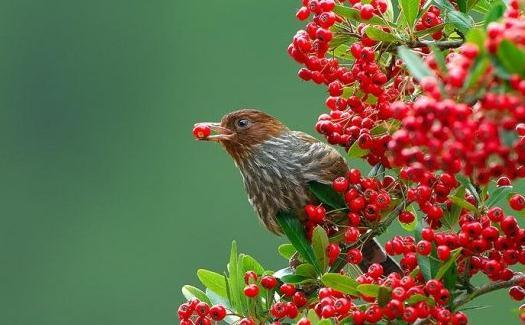 教你如何挑选一只健康的画眉鸟-动物百科