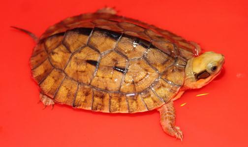乌龟的生活习性乌龟的寿命