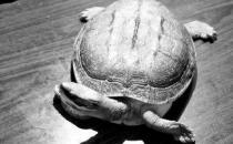黄喉拟水龟的生活习性 黄喉拟水龟养殖方法