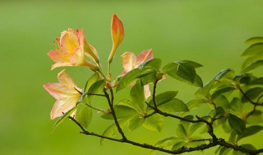 杜鹃花怎么种植?科学养殖杜鹃花的方法